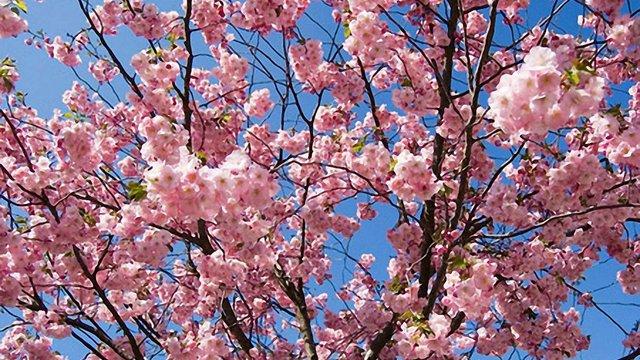 В Ужгороді розпочався фестиваль цвітіння сакури
