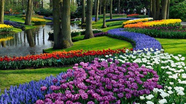 У нідерландському парку квітне водночас 7 мільйонів тюльпанів. Фото