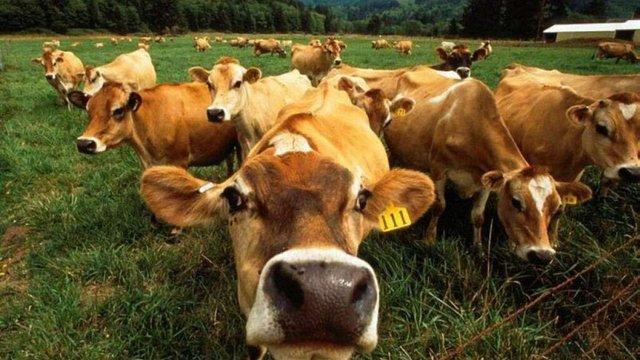Російські вчені пропонують використовувати природний газ для годування корів