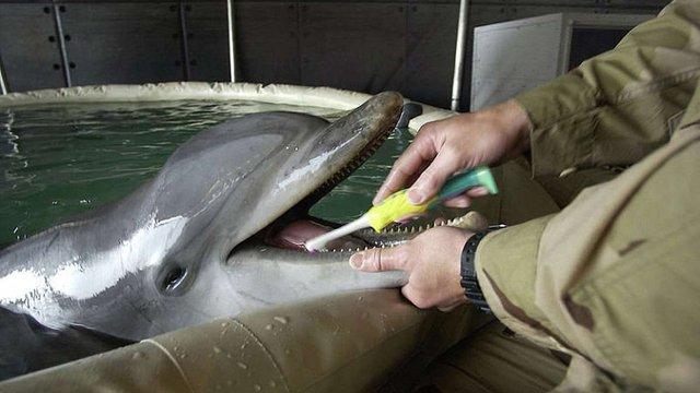 Чорноморський флот Росії проводить навчання з бойовими дельфінами