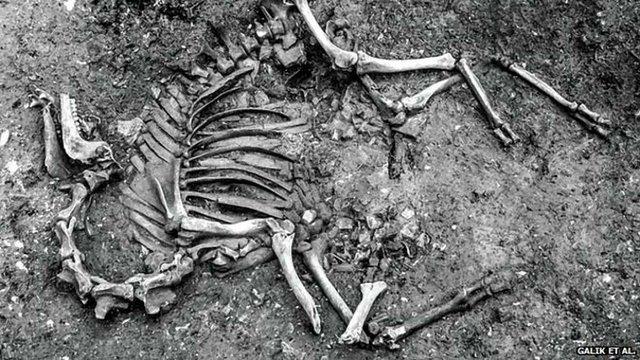Археологи знайшли у Відні скелет бойового верблюда XVII століття