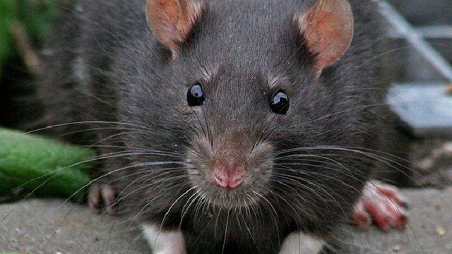 У львівських парках, скверах та підвалах багатоповерхівок потруять пацюків
