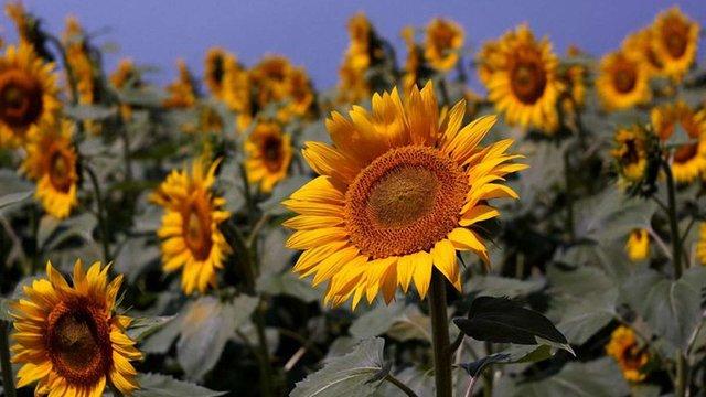 ООН: Внаслідок війни на Донбасі Україна втратила третину врожаю соняшника