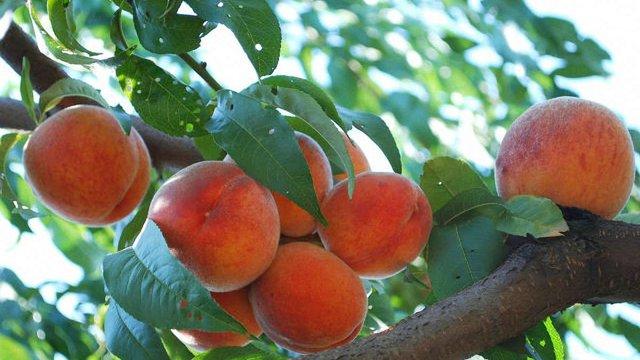 У Львові хочуть висадити алею із кримськими фруктовими деревами