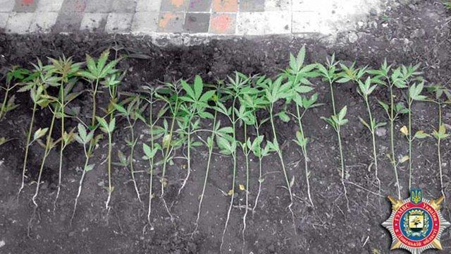 У Красноармійську міліція ліквідувала 2 плантації коноплі