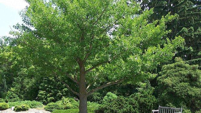 У львівському парку висадять дерева гінкго