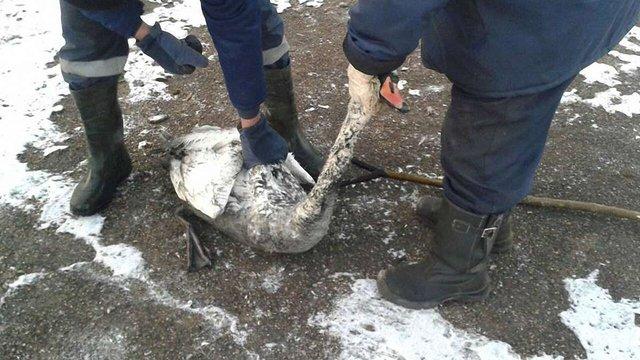 У Львові лебедя рятували патрульні і надзвичайники