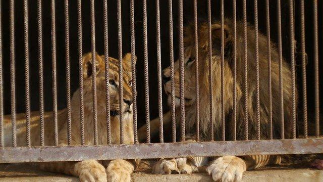 У приватному зоопарку на Львівщині лев погриз руку п'яному чоловіку
