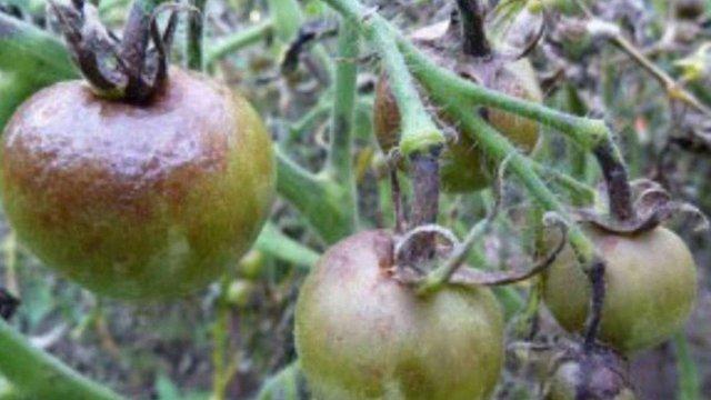 Дощі знищили значну частину херсонських помідорів, баклажанів й картоплі