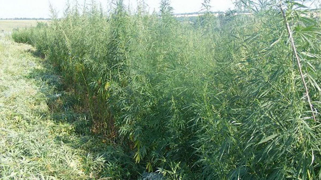На Донеччині СБУ знищила чотири тисячі квадратних метрів плантації марихуани