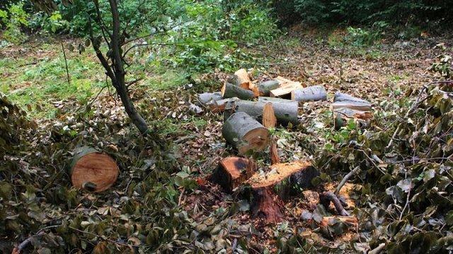 У Винниківському лісництві виявили незаконну вирубку дерев