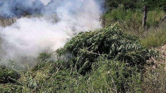 На Черкащині правоохоронці знищили плантацію марихуани вартістю понад ₴10 млн
