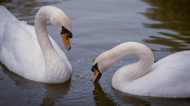 На вихідних у Стрийському парку втекла пара лебедів