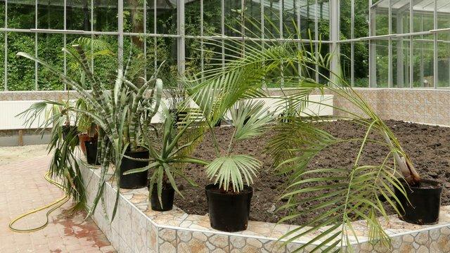 Переможець торгів на постачання рослин для Стрийського парку шукає пальми в соцмережах
