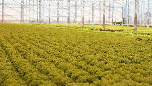 У Буську нідерландський інвестор будує новий тепличний комплекс для вирощування салату