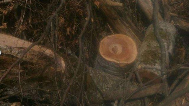 СБУ викрила на Старосамбірщині незаконну вирубку лісу на понад ₴1 млн