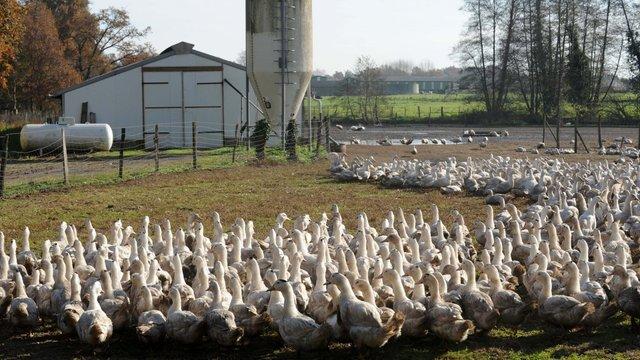 Через спалах пташиного грипу у Нідерландах знищили 190 тис. качок