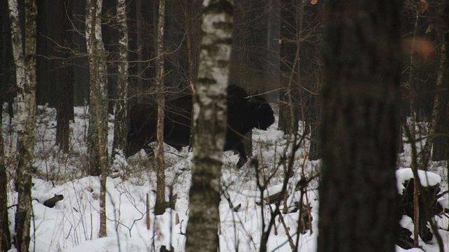 У національному парку на Волині виявили стадо зубрів, яке вважалося втраченим