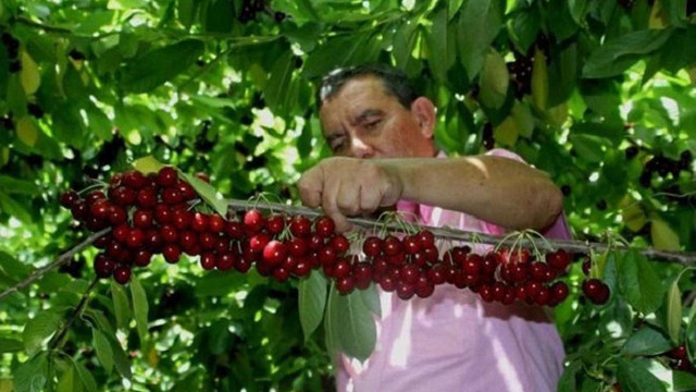 Головним імпортером українських вишень замість Росії стала Білорусь