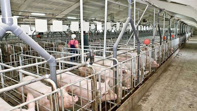 Майже 80% експортної української свинини купує Грузія