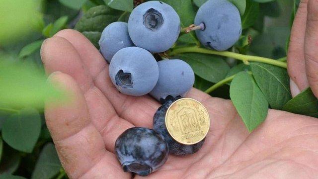 Українські аграрії дедалі більше вирощують лохини