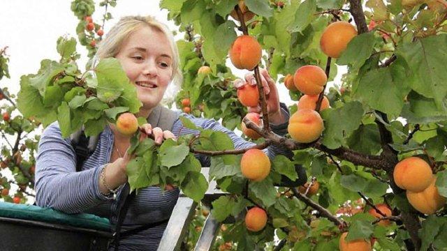 В Україні травневе похолодання знищило третину врожаю фруктів