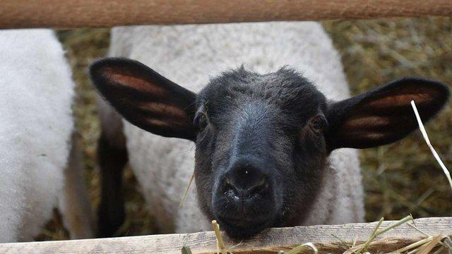 На Дрогобиччині відкрили нову овечу ферму за австрійським зразком