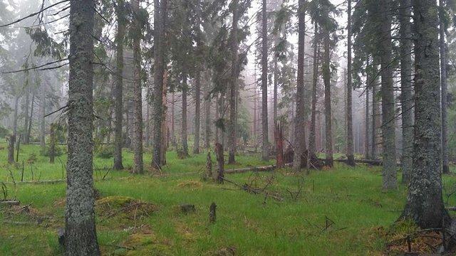 В Національному парку «Синевир» зафіксували масові підпали вікових смерек