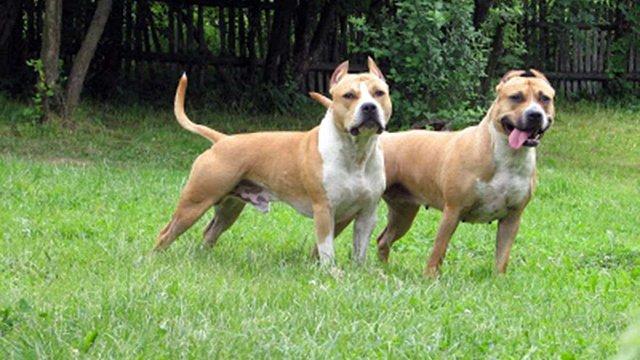 У львів'янки через суд конфіскували бійцівського собаку