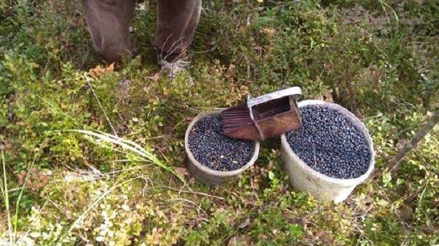 У зоні відчуження поблизу ЧАЕС затримали збирачів чорниць із 25 кг ягід