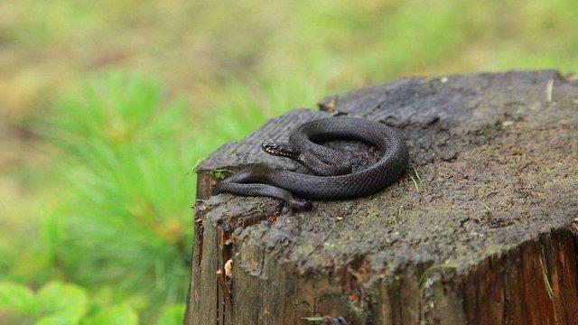 На Сколівщині 39-річний чоловік потрапив до лікарні через укус змії