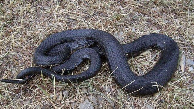 На Сколівщині 83-річну жінку у важкому стані госпіталізували через укус змії