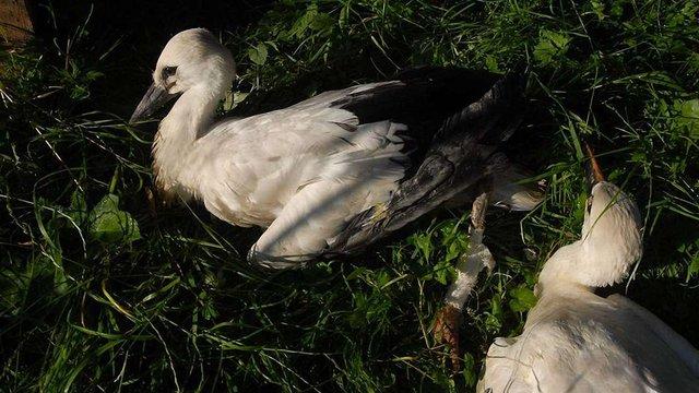 На Прикарпатті зоозахисники реабілітують поранених лелек