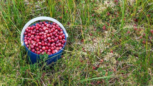 У Білорусі затримали вісьмох збирачів ягід із Рівненщини