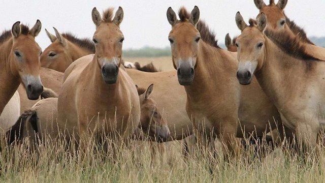 Заповіднику «Асканія-Нова» заборонили розводити коней Пржевальcькoгo