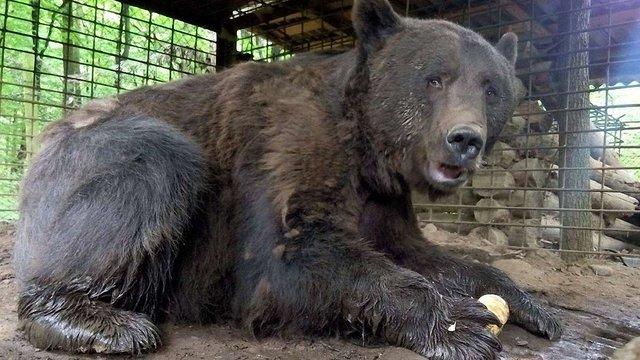 У ведмежий притулок на Львівщині перевезуть двох ведмедів