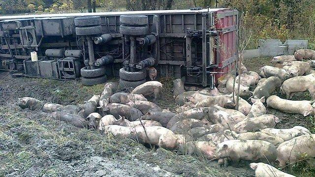 На Полтавщині внаслідок ДТП загинули 50 свиней