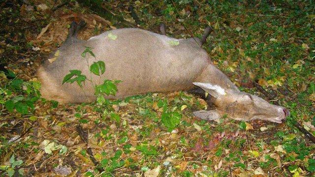 На Сумщині поліція затримала браконьєрів, які незаконно відстрілювали оленів
