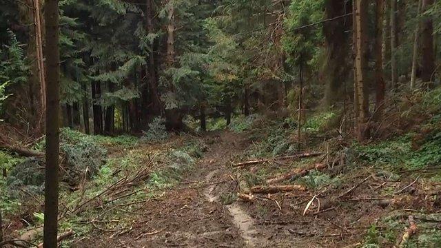 Незаконно зрізані 140 дерев у Старосамбірському районі оцінили у ₴1,5 млн