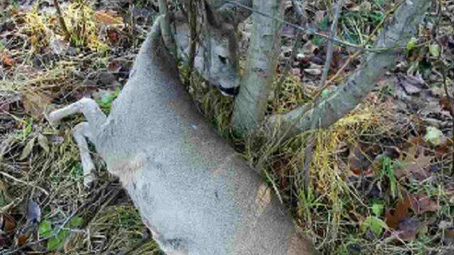 На Бродівщині затримали лісоруба, який за допомогою силець відловлював диких звірів