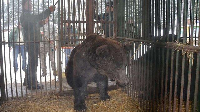 Трьох ведмедів з Самбора перевезли у реабілітаційний центр «Синевир»