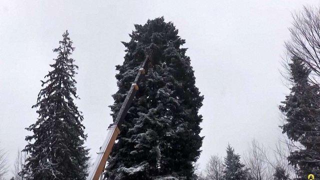 У Карпатах зрубали ялинку для центру Києва