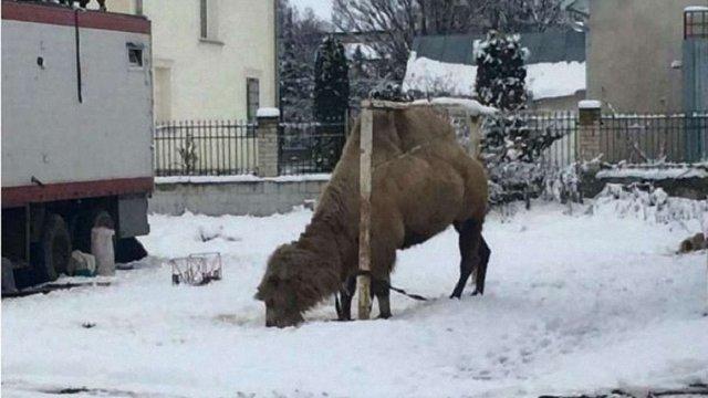 На Тернопільщині мандрівний цирк з Грузії покинув свого верблюда на місцевому стадіоні