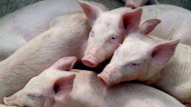 Україна заборонила ввезення свинини з чотирьох регіонів Польщі