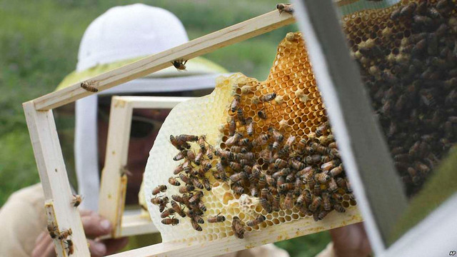 Канада планує врятувати свою популяцію бджіл за допомогою українських