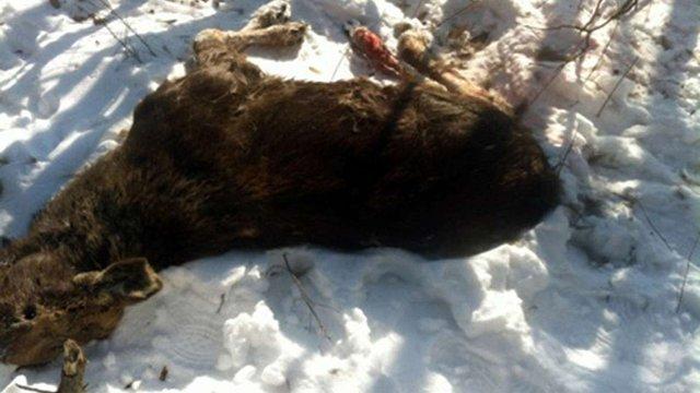 У лісі поблизу Яворівського полігону виявили мертву самку лося
