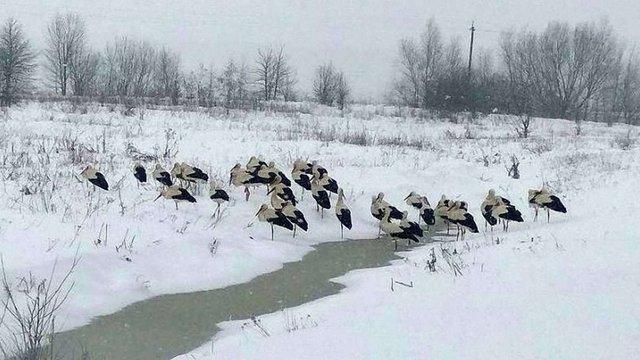 Екологи пояснили, як рятувати лелек під час снігопаду