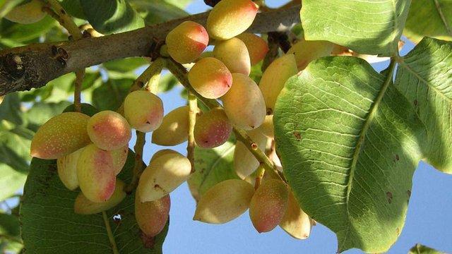 В Україні вирощуватимуть морозостійкі їстівні фісташки з Узбекистану