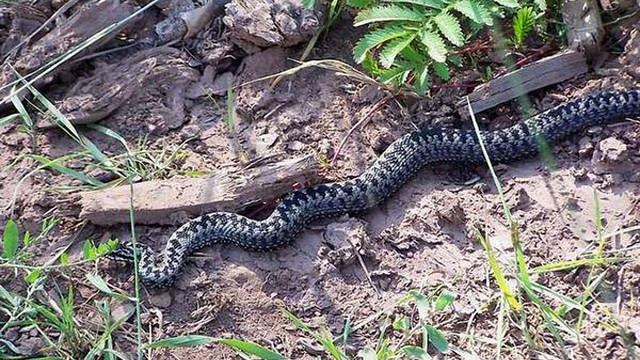 У Космачі 19-річного хлопця покусала змія, він у реанімації