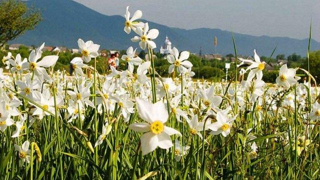 На Закарпатті почала квітнути унікальна Долина нарцисів